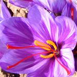 زعفران در یک نگاه