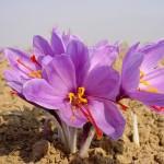 مرغوب ترین و ارزان ترین زعفران از آن ایران است
